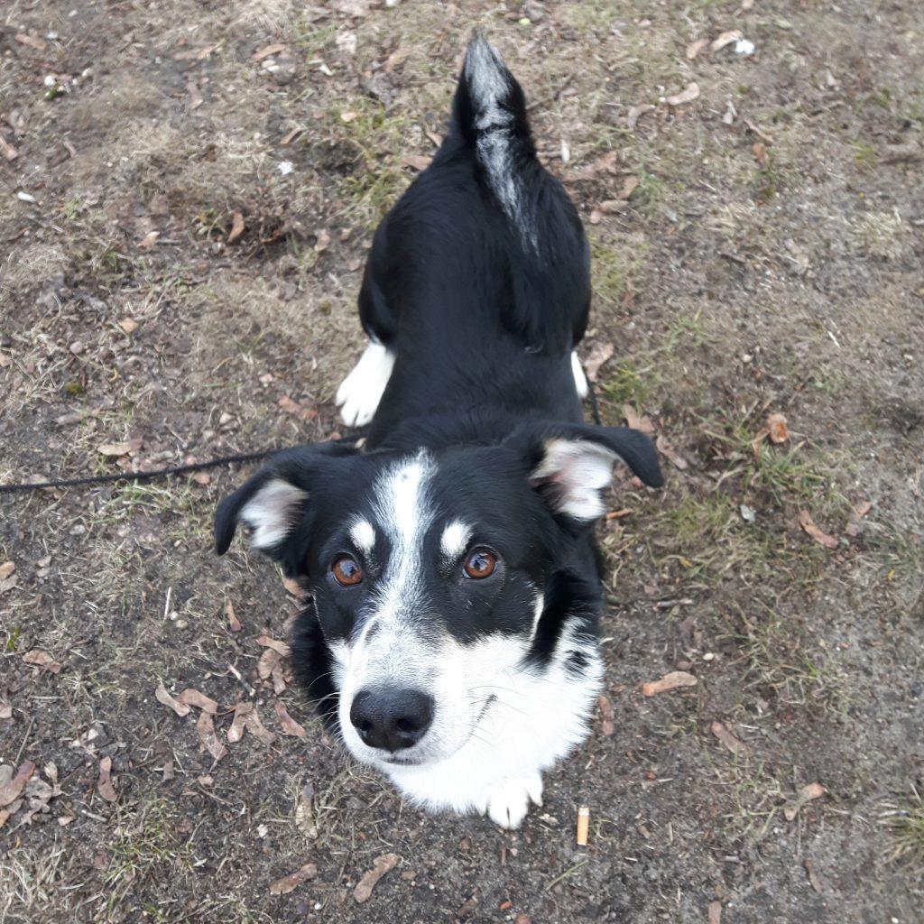 Wafel pies z Radys